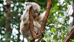 Free Koala Wallpaper 37422
