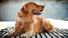 Golden Retriever Wallpaper 4543