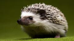 Hedgehog Wallpaper 43787