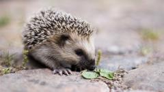 Hedgehog Wallpaper HD 43786