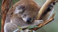 Koala Pictures 37417