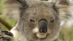 Koala Pictures 37424