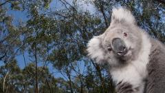 Koala Wallpaper 37418