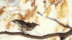 Mockingbird on Tree Branch Wallpaper 44187