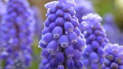 Muscari Flowers 28455