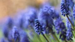 Muscari Flowers 28460