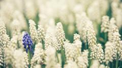 Muscari Flowers 28462