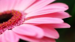 Pink Flower 19315