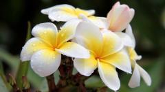 Plumeria Flowers 32361