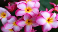 Plumeria Wallpapers 32359