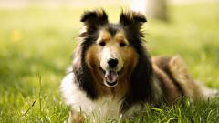 Pretty Border Collie Wallpaper 43486