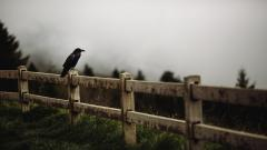 Raven Bird Fence Wallpaper 44182