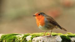 Robin Bird Wallpaper HD 43163