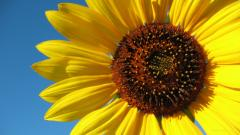 Sunflower 21581