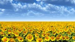 Sunflower Field 21586
