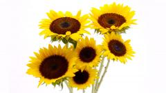 Sunflowers 21583