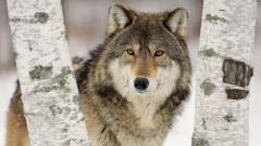 Wolf Wallpaper HD 43159