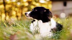 Wonderful Collie Wallpaper 43480