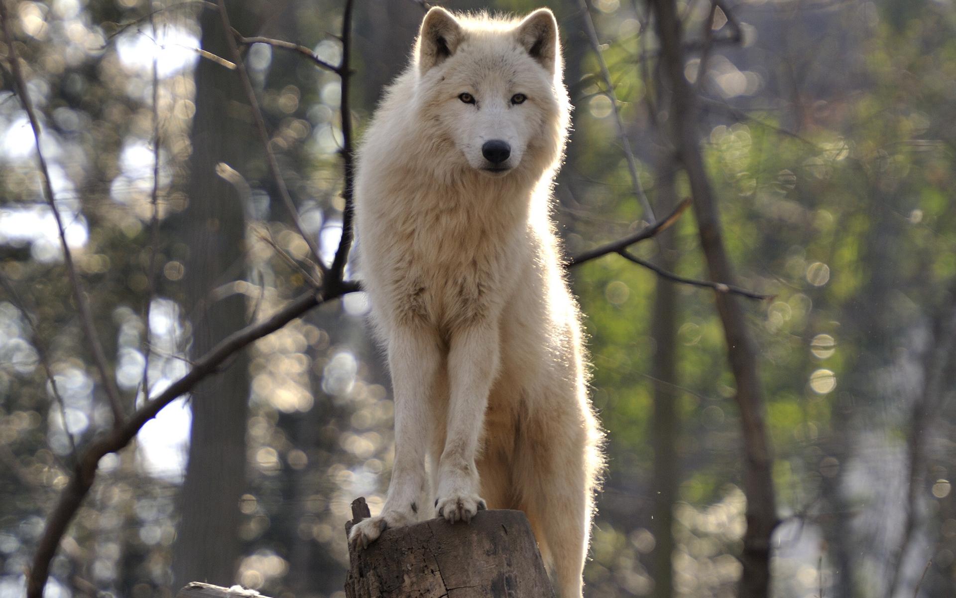 wolf wallpaper 43160