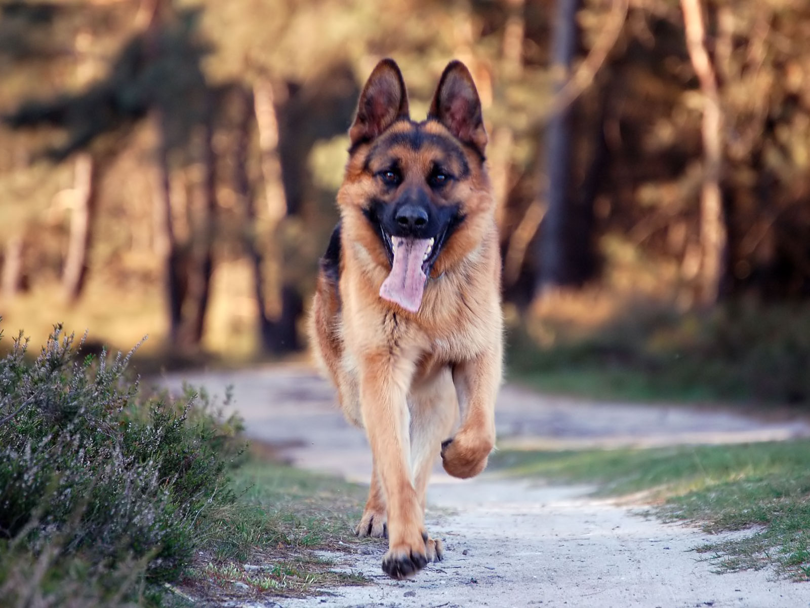 beautiful german shepherd 20701