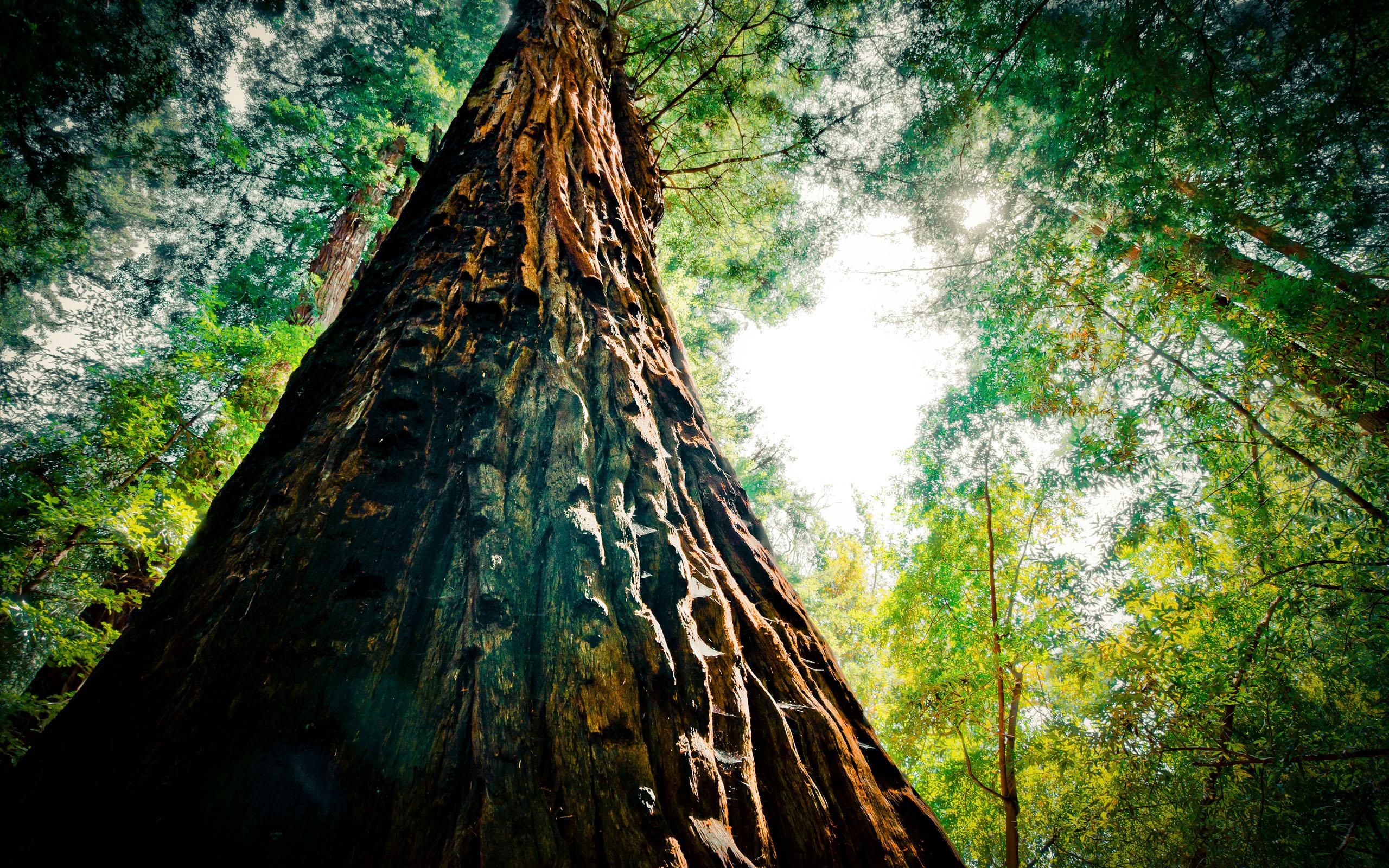 beautiful redwood 31335