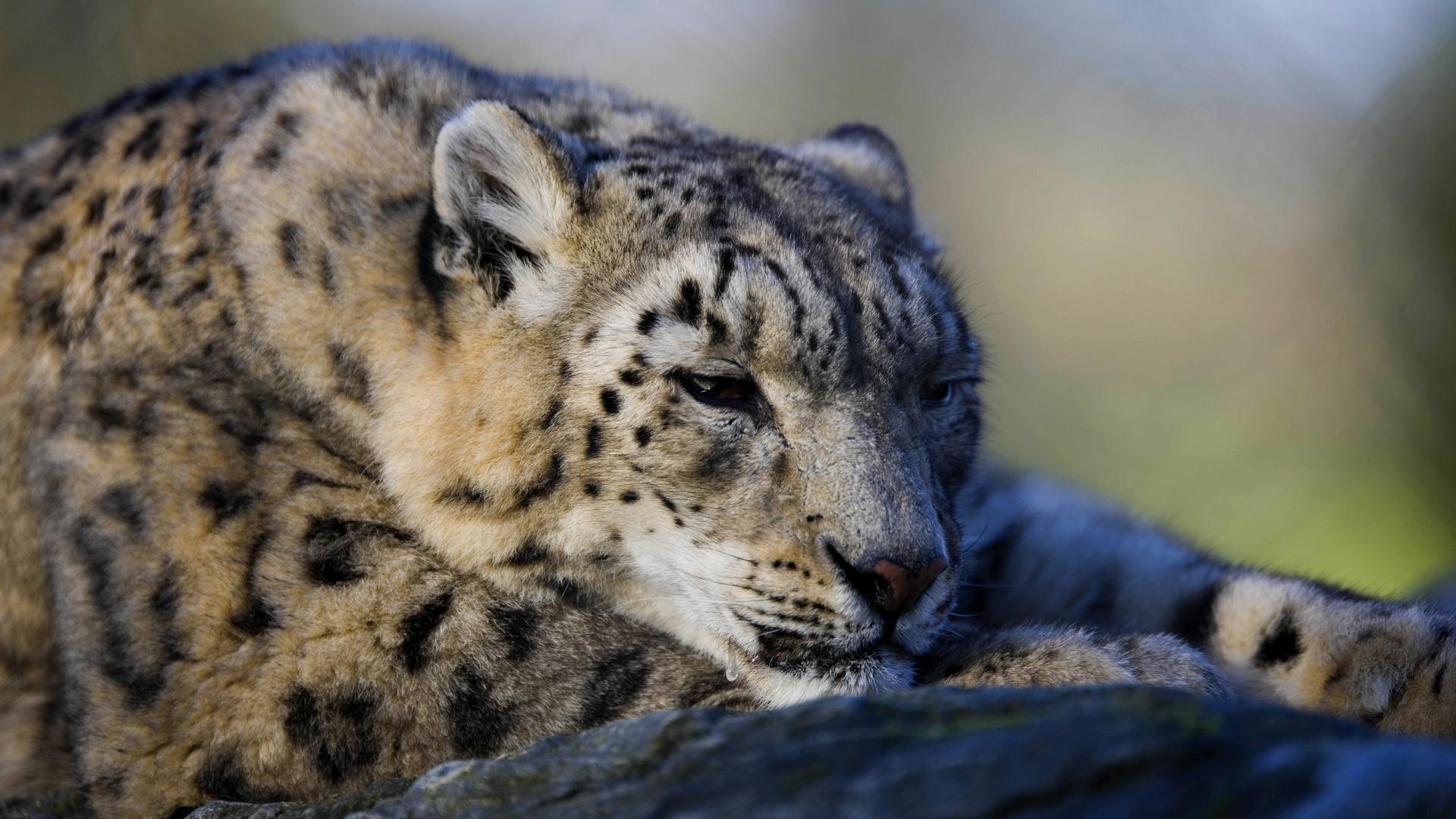 cute snow leopard wallpaper 30590