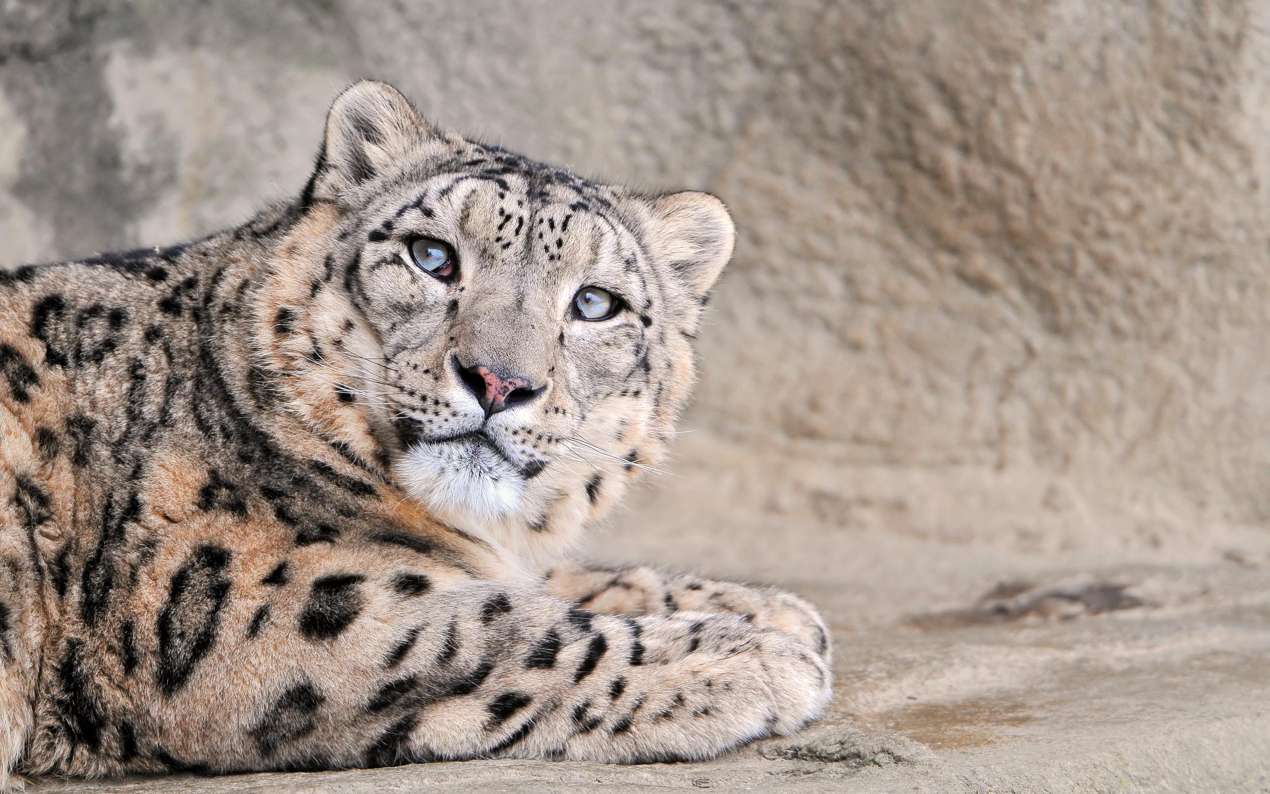 snow leopard pictures 30581