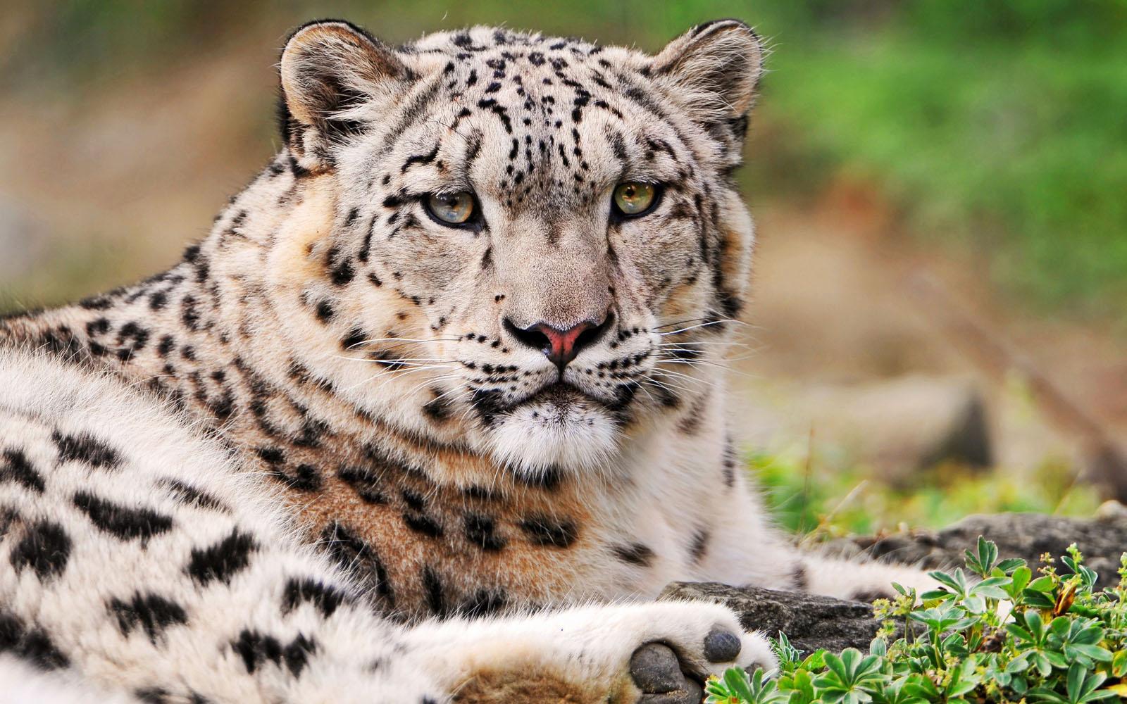 snow leopard pictures 30583