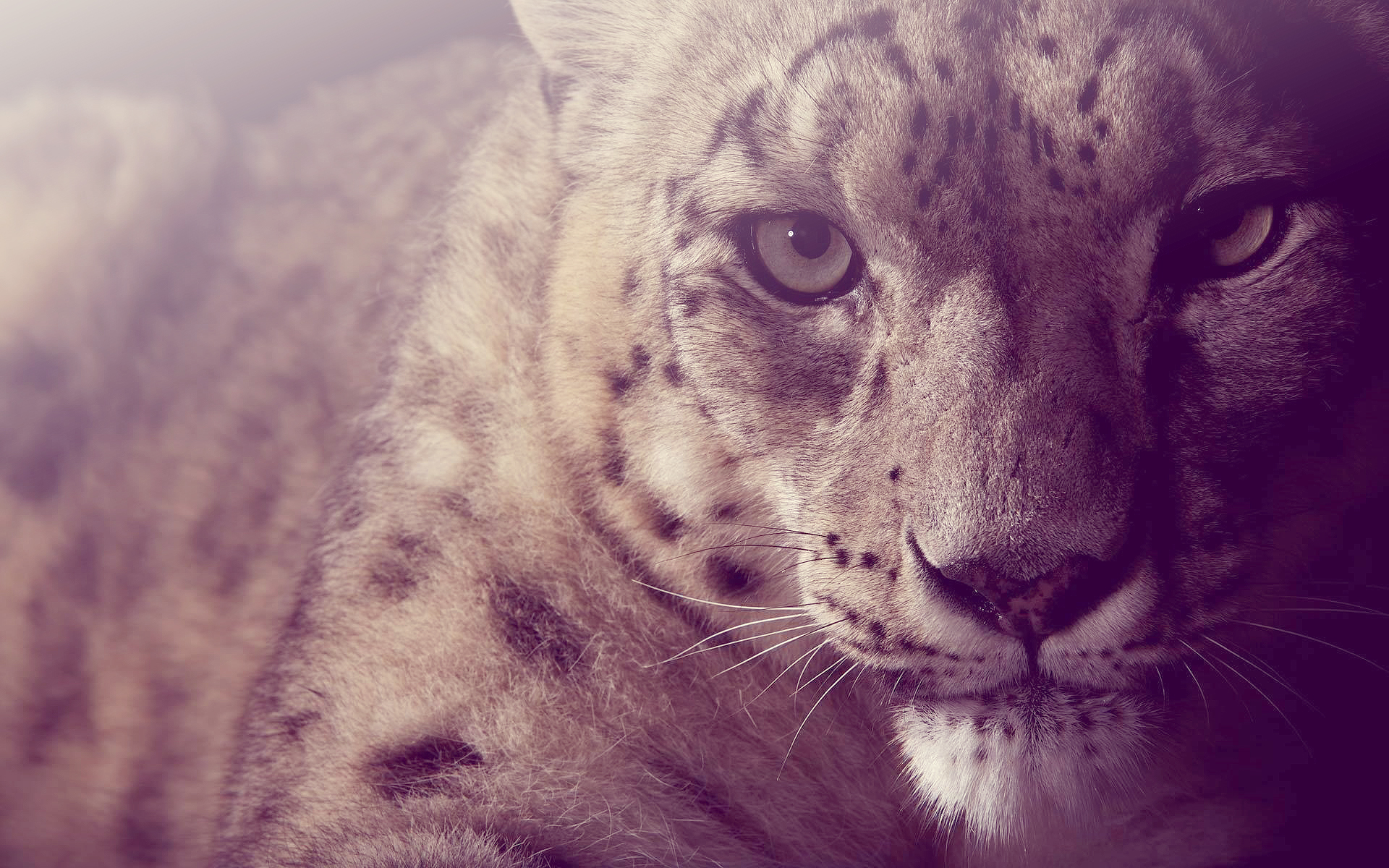 snow leopard wallpapers 30579 1920x1200 px ~ hdwallsource