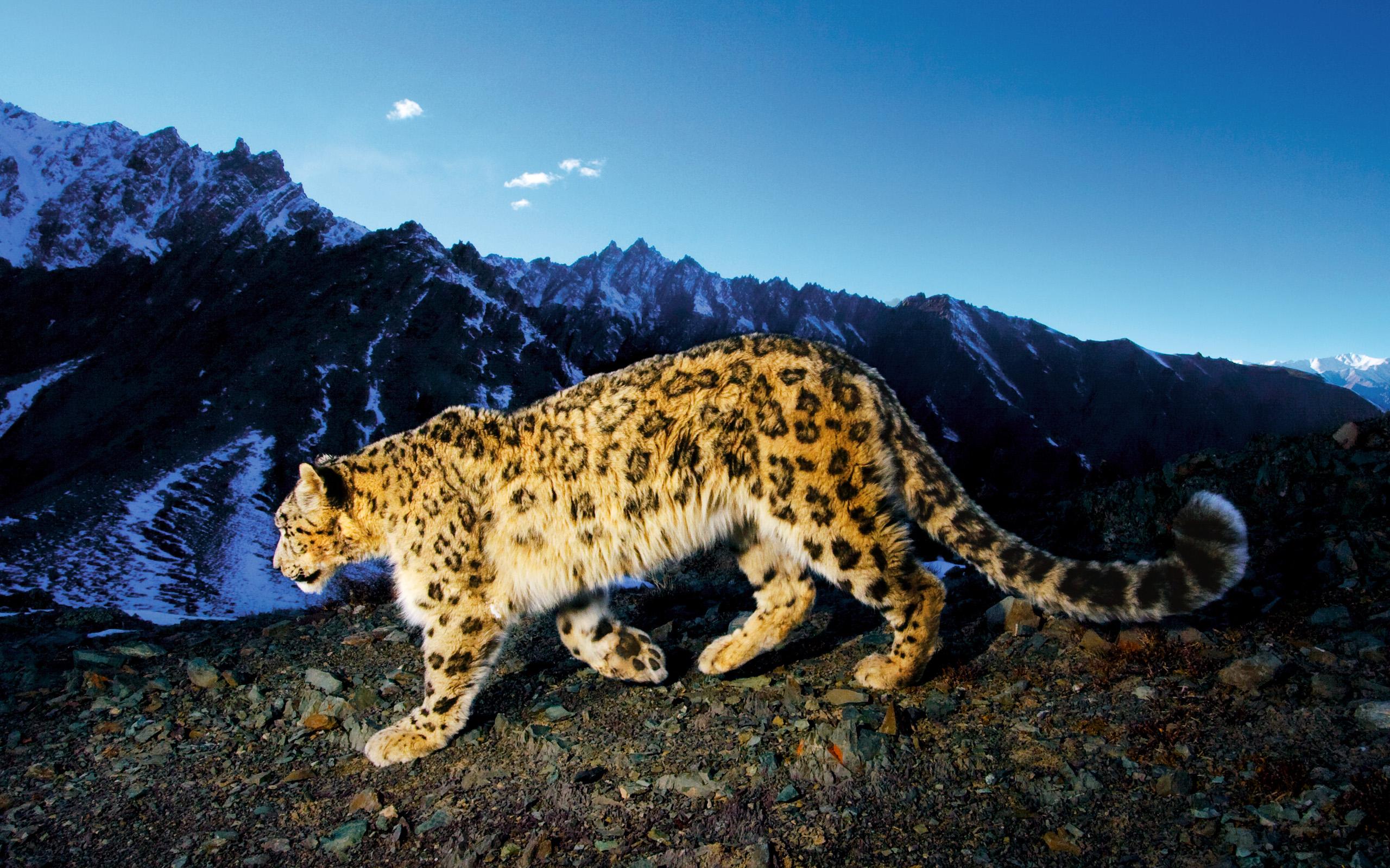stunning snow leopard wallpaper 30586