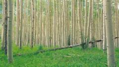 Aspen Tree Wallpaper 30456