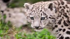 Awesome Snow Leopard Wallpaper 30584