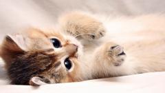 Baby Cat Wallpaper 30567