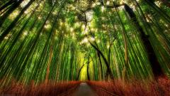 Bamboo Wallpaper 6497