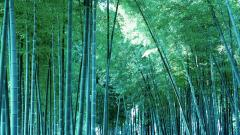 Bamboo Wallpaper 6503