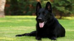 Black German Shepherd 20689