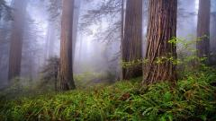 Cool Redwood Wallpaper 31337