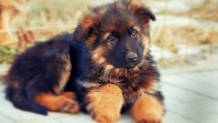 Cute German Shepherd Wallpaper 20708