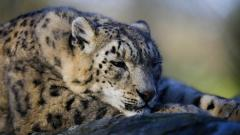 Cute Snow Leopard Wallpaper 30590
