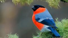 Fantastic Bullfinch Wallpaper 43285