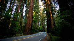 Free Redwood Wallpaper 31334
