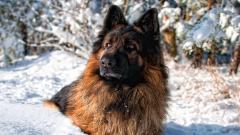 German Shepherd 20693