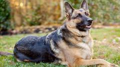 German Shepherd 20696