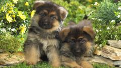 German Shepherd Puppies 20700
