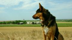 German Shepherds 20697