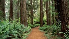 Redwoods 31341