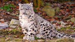 Snow Leopard 30580