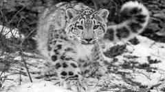 Snow Leopard 30585