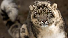 Snow Leopard 30591