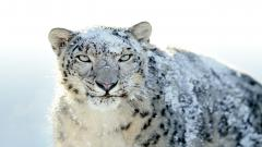 Snow Leopard Background 30593